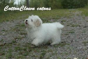 Cottonclown